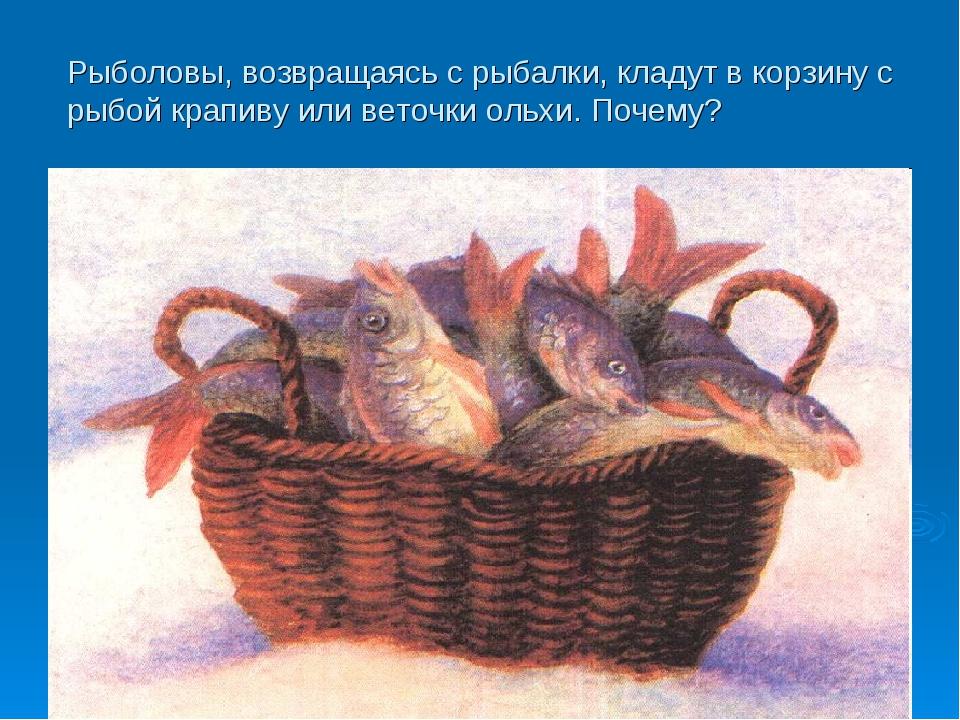 Рыболовы, возвращаясь с рыбалки, кладут в корзину с рыбой крапиву или веточки...