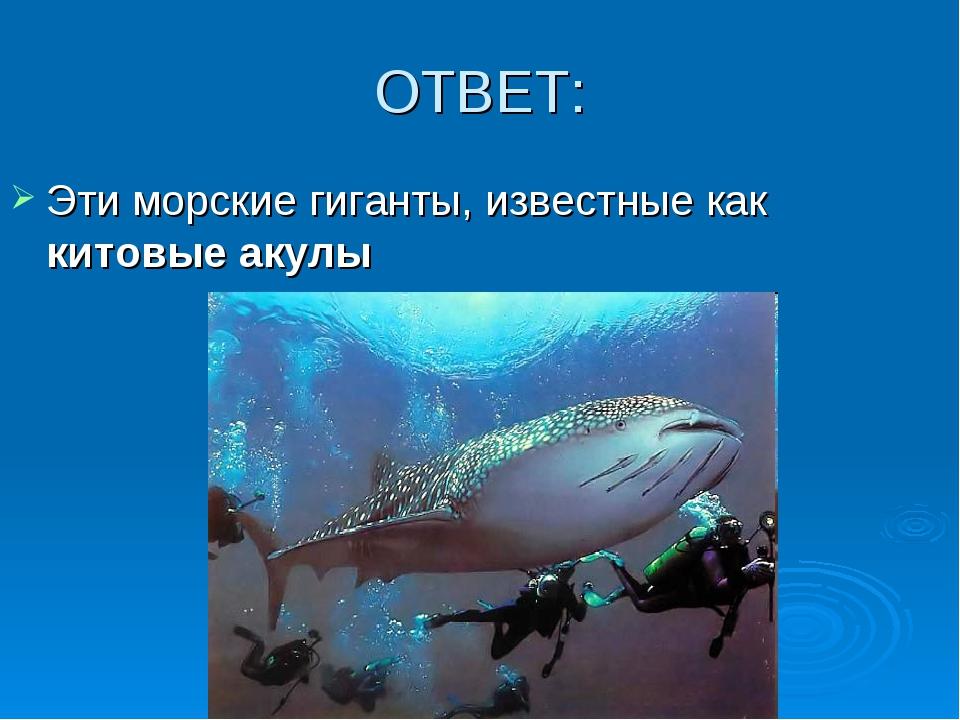 ОТВЕТ: Эти морские гиганты, известные как китовые акулы