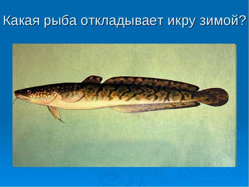 Какая рыба откладывает икру зимой?