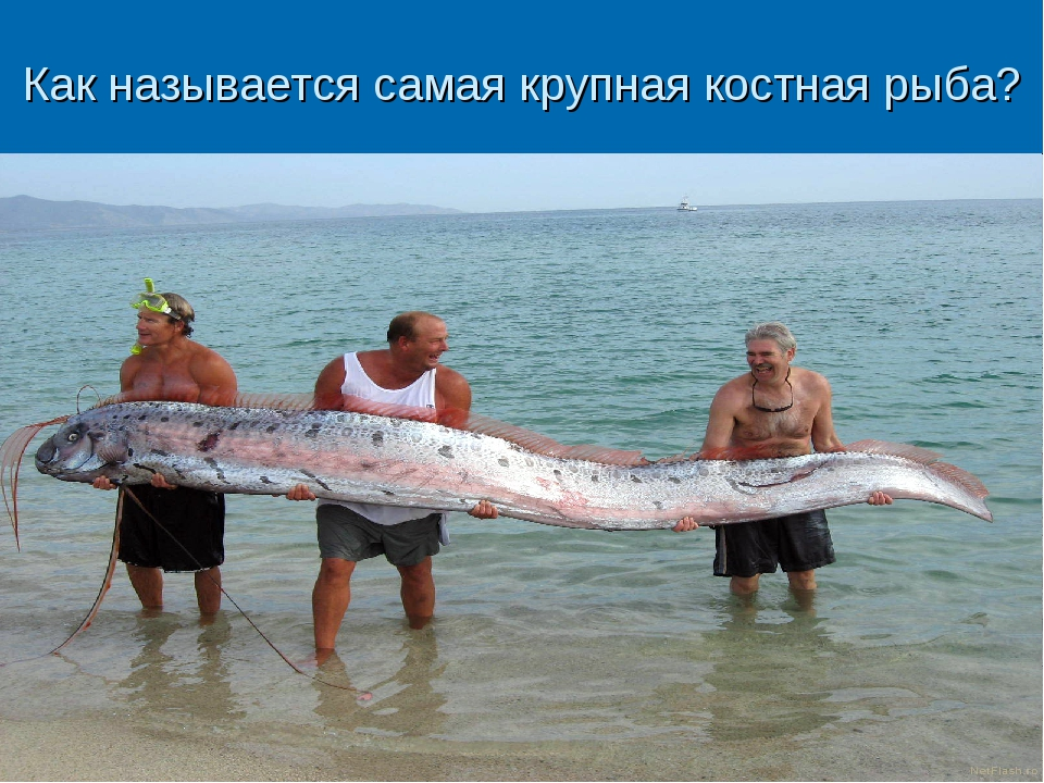 Как называется самая крупная костная рыба?