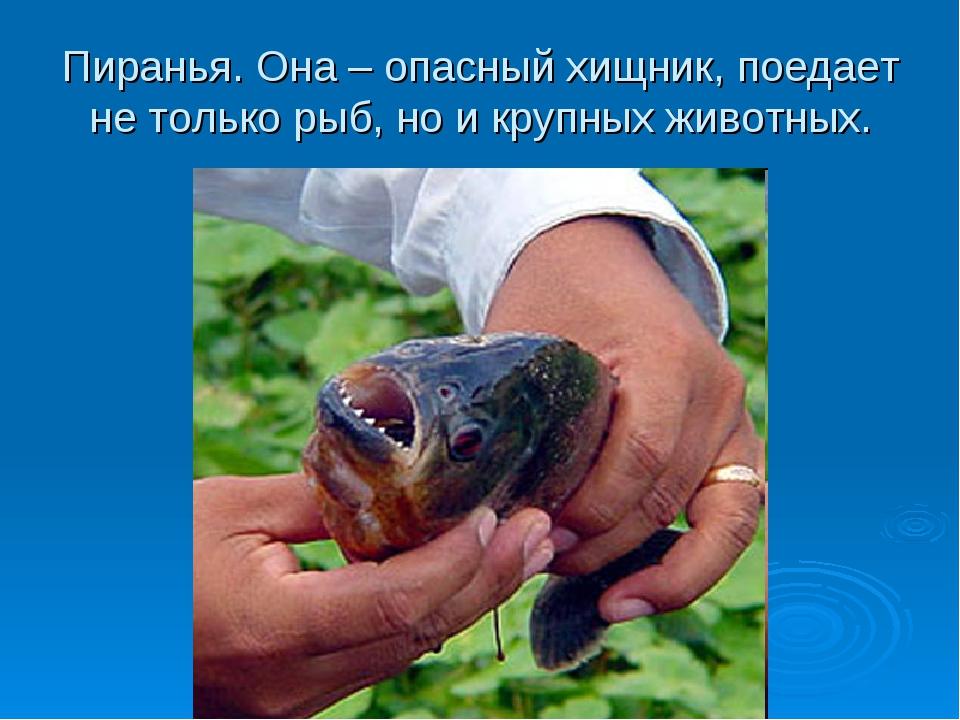 Пиранья. Она – опасный хищник, поедает не только рыб, но и крупных животных.