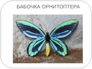 БАБОЧКА ОРНИТОПТЕРА