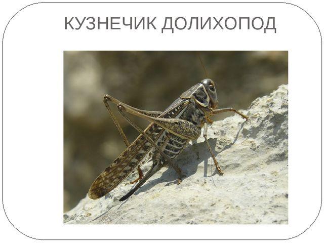 КУЗНЕЧИК ДОЛИХОПОД