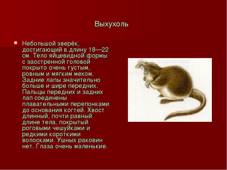 Выхухоль Небольшой зверёк, достигающий в длину 18—22 см. Тело яйцевидной форм...