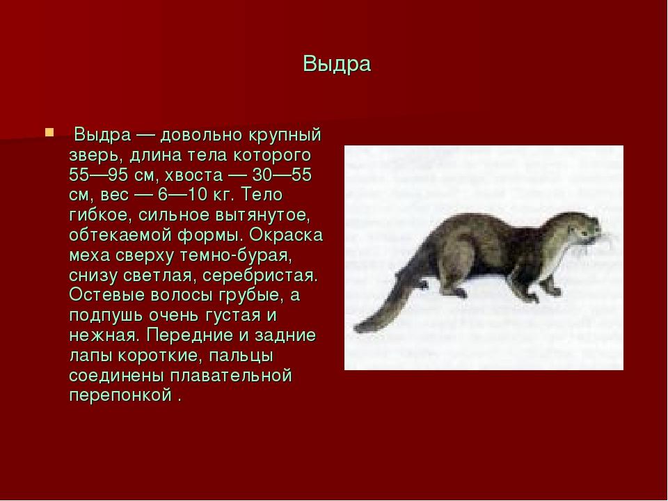 Выдра Выдра — довольно крупный зверь, длина тела которого 55—95 см, хвоста —...