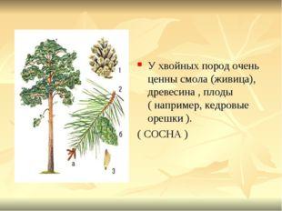 У хвойных пород очень ценны смола (живица), древесина , плоды ( например, кед