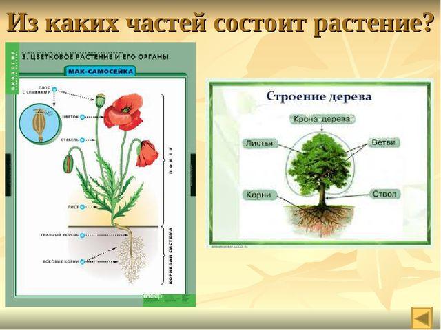 Из каких частей состоит растение?