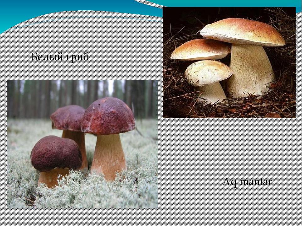 Белый гриб Aq mantar