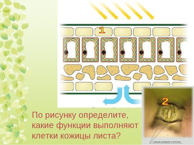 По рисунку определите, какие функции выполняют клетки кожицы листа?
