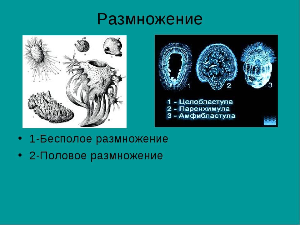 Размножение 1-Бесполое размножение 2-Половое размножение