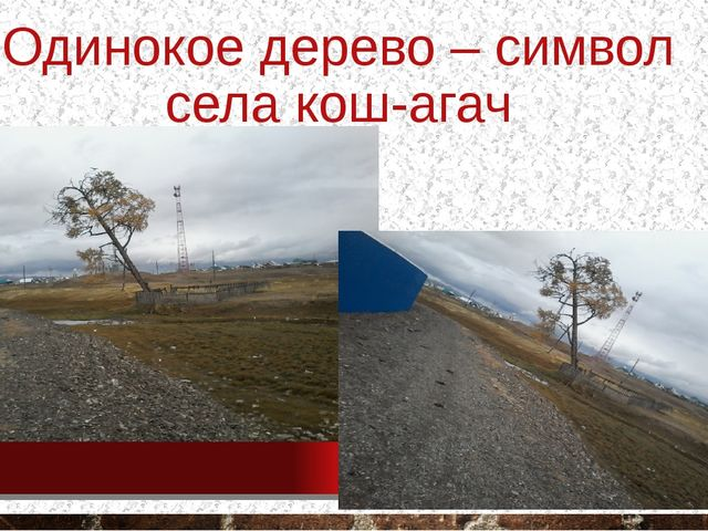 Одинокое дерево – символ села кош-агач