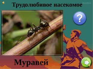 Трудолюбивое насекомое Муравей