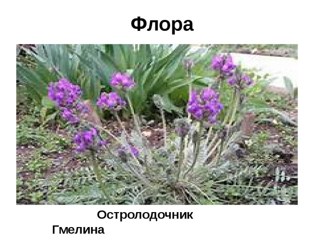 Флора Остролодочник Гмелина