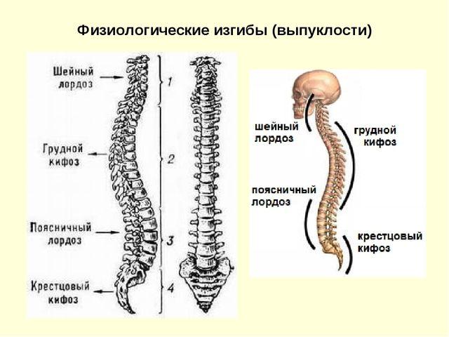 Физиологические изгибы (выпуклости)