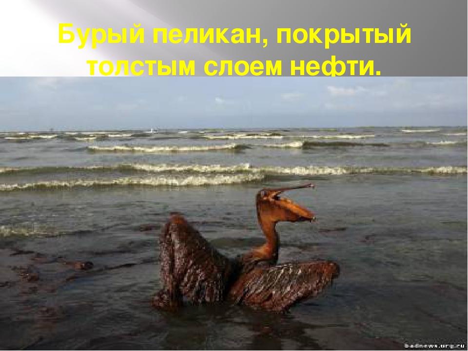Бурый пеликан, покрытый толстым слоем нефти.