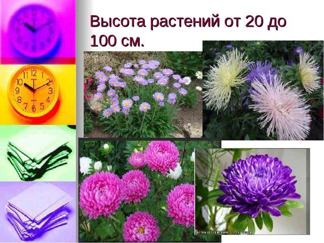 Высота растений от 20 до 100 см.