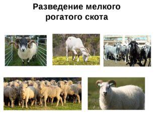 Разведение мелкого рогатого скота