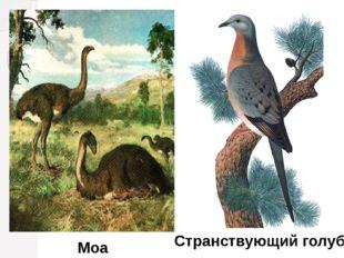 Моа Странствующий голубь