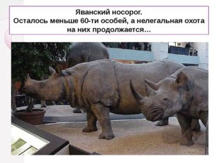Яванский носорог. Осталось меньше 60-ти особей, а нелегальная охота на них пр
