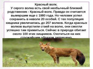 Красный волк. У серого волка есть свой необычный близкий родственник - Красн