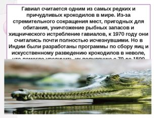 Гавиал считается одним из самых редких и причудливых крокодилов в мире. Из-за