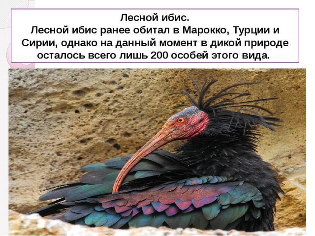 Лесной ибис. Лесной ибис ранее обитал в Марокко, Турции и Сирии, однако на да...