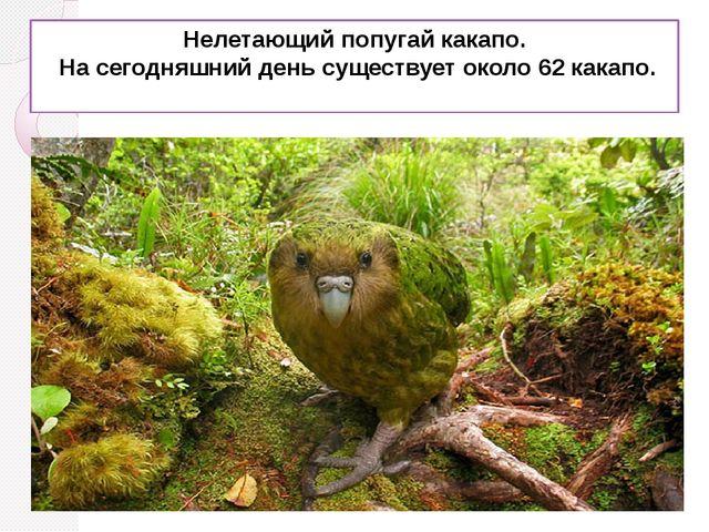 Нелетающий попугай какапо. На сегодняшний день существует около 62 какапо.