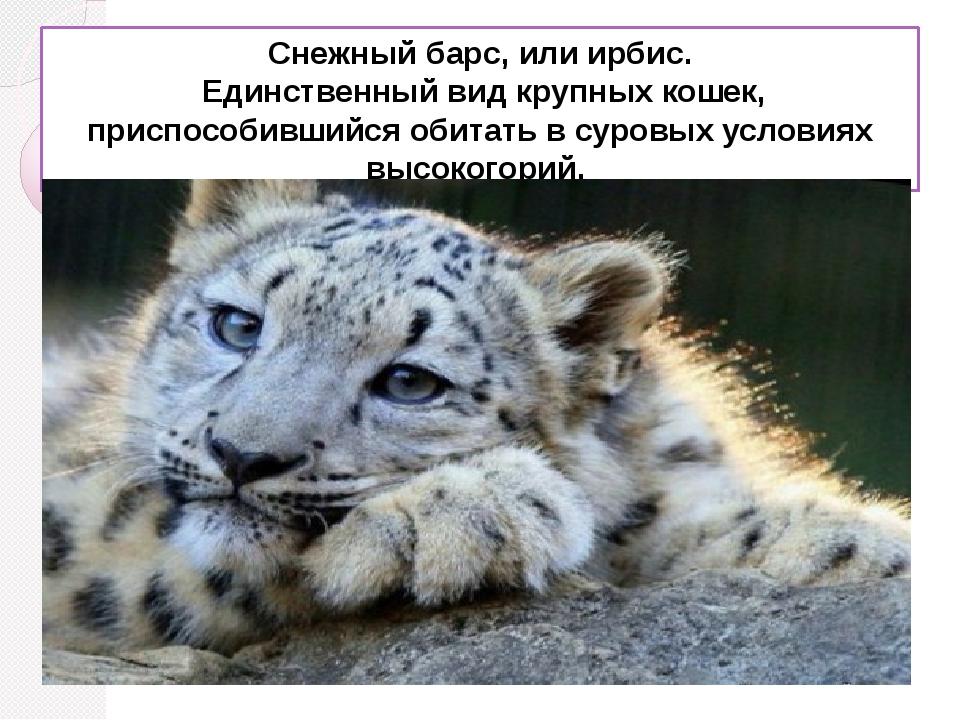 Снежный барс, илиирбис. Единственный вид крупных кошек, приспособившийся об...
