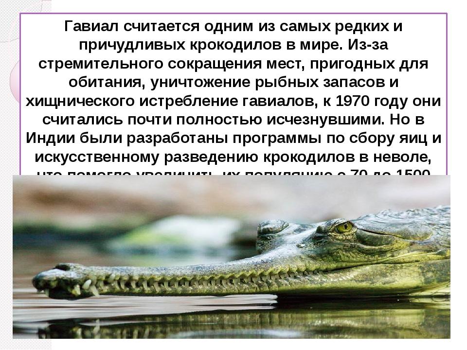 Гавиал считается одним из самых редких и причудливых крокодилов в мире. Из-за...