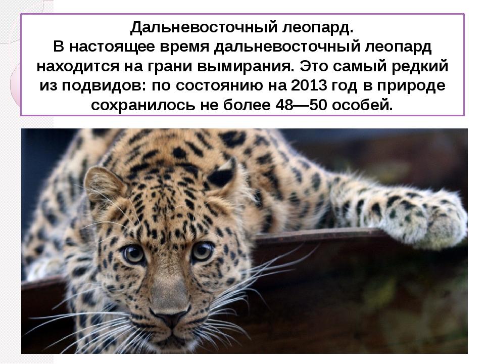 Дальневосточный леопард. В настоящее время дальневосточный леопард находится...