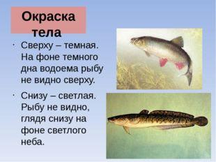 Окраска тела Сверху – темная. На фоне темного дна водоема рыбу не видно сверх