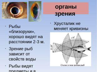 Хрусталик не меняет кривизны Рыбы «близоруки», хорошо видят на расстоянии 2-3
