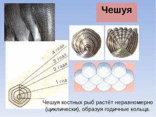 Чешуя Чешуя костных рыб растёт неравномерно (циклически), образуя годичные ко