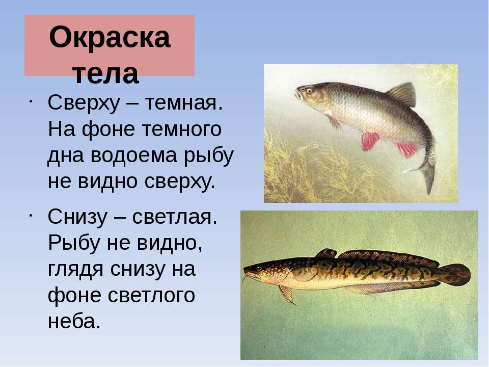 Окраска тела Сверху – темная. На фоне темного дна водоема рыбу не видно сверх...