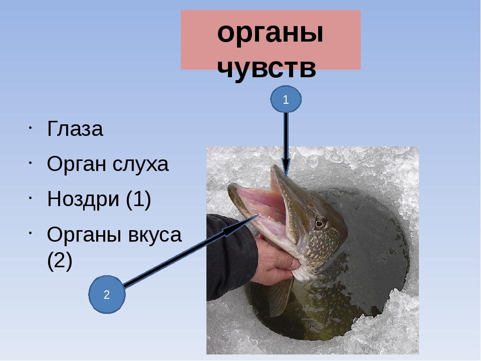 органы чувств Глаза Орган слуха Ноздри (1) Органы вкуса (2) 1 2