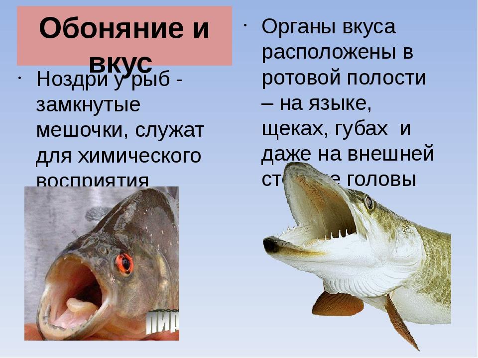 Обоняние и вкус Ноздри у рыб - замкнутые мешочки, служат для химического восп...