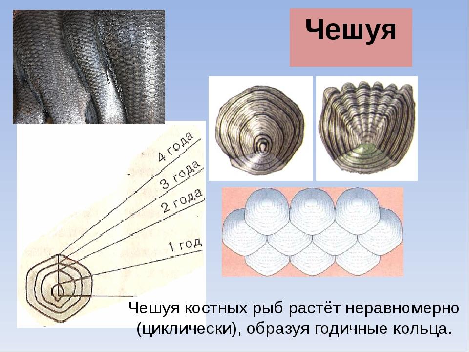 Чешуя Чешуя костных рыб растёт неравномерно (циклически), образуя годичные ко...