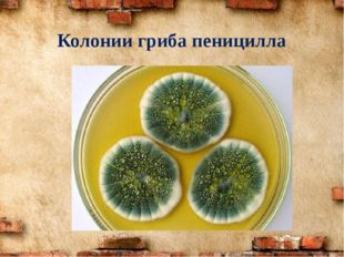 Колонии гриба пеницилла