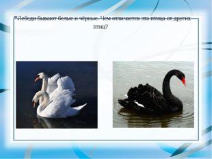 -Лебеди бывают белые и чёрные. Чем отличается эта птица от других птиц?