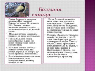Самая большая и тяжелая синица в Центральной Европе: ее длина 14 см, масса 20