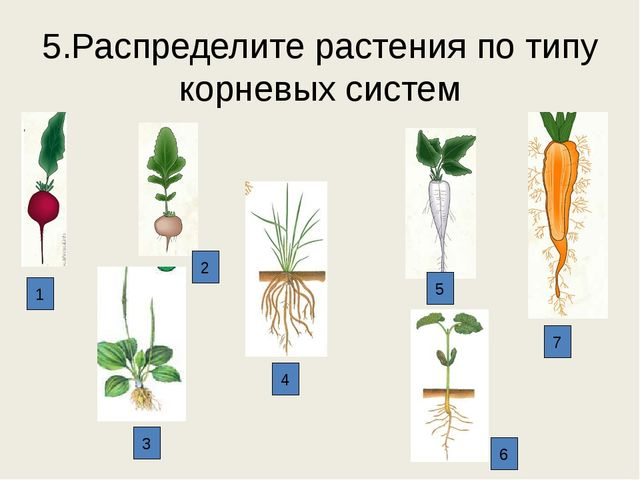 5.Распределите растения по типу корневых систем 1 2 3 4 6 5 7