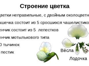 Строение цветка Цветки неправильные, с двойным околоцветником Чашечка состоит