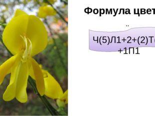 ↗ Ч(5)Л1+2+(2)Т(9)+1П1 Формула цветка