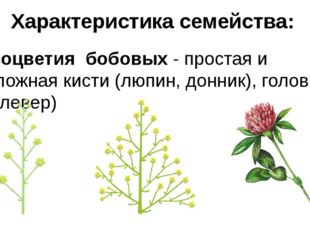 соцветия бобовых - простая и сложная кисти (люпин, донник), головка (клевер)