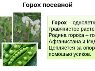 Горох посевной Горох – однолетнее травянистое растение. Родина гороха – горы