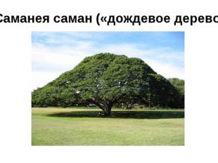 Саманея саман («дождевое дерево»)