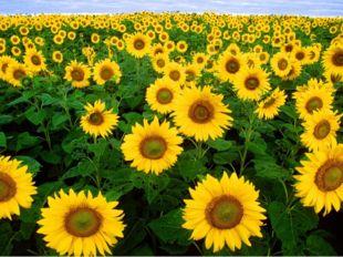 Какое растение, было на родине сорняком, в Европе садовым цветком, а у нас ст