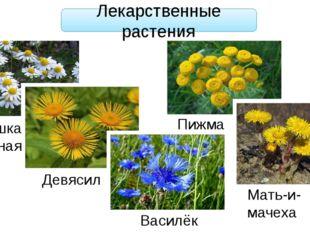 Лекарственные растения Ромашка аптечная Девясил Василёк Пижма Мать-и-мачеха
