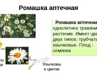 Ромашка аптечная Ромашка аптечная – однолетнее травянистое растение. Имеет цв