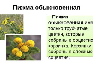 Пижма обыкновенная Пижма обыкновенная имеет только трубчатые цветки, которые